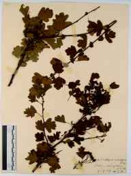 Crataegus monogyna herbarium specimen from Arlingham, VC34 West Gloucestershire in 1909.