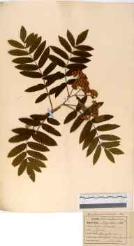 Sorbus aucuparia herbarium specimen from Frith Wood, VC33 East Gloucestershire in 1864.
