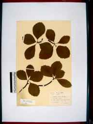Sorbus aria herbarium specimen from Forest of Dean, VC34 West Gloucestershire in 1943 by Samuel George Charles.