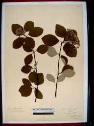 Sorbus aria herbarium specimen from Symonds Yat, VC34 West Gloucestershire in 1915 by Mr Archibald Sim Montgomrey.