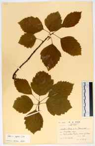 Sorbus aria x torminalis = S. x vagensis herbarium specimen from Forest of Dean, VC34 West Gloucestershire in 1943 by Samuel George Charles.