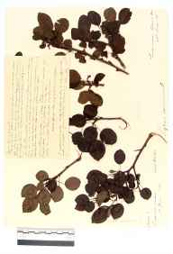 Pyrus communis herbarium specimen from Coldwell, VC34 West Gloucestershire in 1889 by Rev. Augustin Ley.