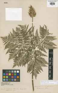 Botrypus virginianus herbarium specimen from Galena, Illinois in 1855 by James Edward Moxon.