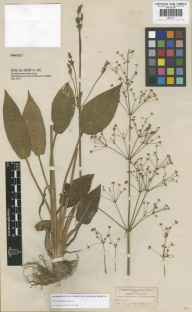 Alisma plantago-aquatica herbarium specimen from Leyton, VC18 South Essex in 1839.