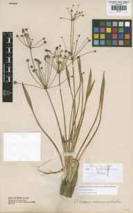 Baldellia ranunculoides herbarium specimen from Ingoldisthorpe, VC28 West Norfolk in 1842 by Rev David Davis.