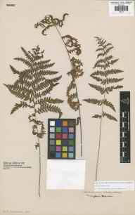 Thelypteris palustris herbarium specimen from Twickenham, VC21 Middlesex in 1840.