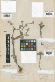 Filago vulgaris herbarium specimen from Leyton, VC18 South Essex in 1839 by James Edward Moxon.