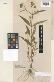 Bidens cernua herbarium specimen from Epping Forest, VC18 South Essex in 1839.