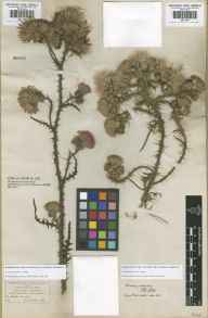 Cirsium palustre herbarium specimen from Epping Forest, VC18 South Essex in 1839.