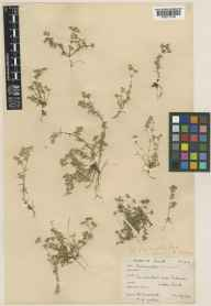 Scleranthus annuus herbarium specimen from Little Sark, VC113 Channel Islands in 1929 by E A Golby.
