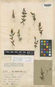 Gentianella campestris herbarium specimen from Connor Downs, VC1 West Cornwall in 1905 by Mr Frederick Hamilton Davey.