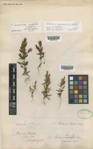 Gentianella campestris herbarium specimen from Brighton, VC13 West Sussex in 1886 by Mr Albert John Crosfield.