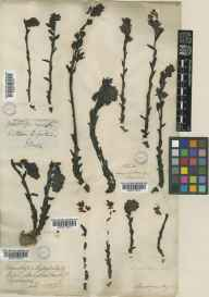 Monotropa hypopitys herbarium specimen from Stoughton, VC13 West Sussex in 1833.
