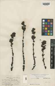 Monotropa hypopitys herbarium specimen from Shere, VC17 Surrey in 1936 by Wilson Crosfield Worsdell.