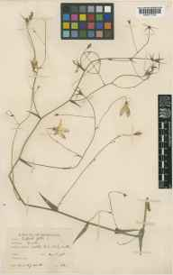 Campanula patula herbarium specimen from Elmley Lovett, VC37 Worcestershire in 1936 by Mr Noel Yvri Sandwith.