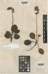 Pyrola media herbarium specimen from Morven, VC92 South Aberdeenshire in 1854 by Mr Alexander Croall.