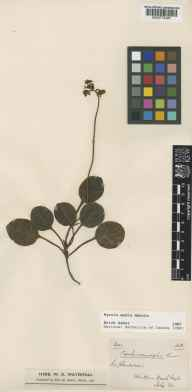 Pyrola media herbarium specimen from Wark, Northumberland in 1863.