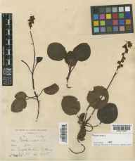 Pyrola minor herbarium specimen from Errigal, VCH40 Co. Londonderry in 1905 by Mr Robert Lloyd Praeger.