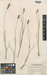 Blysmus compressus herbarium specimen from Galphay, VC64 Mid-west Yorkshire in 1943 by Mr Edward Charles Wallace.