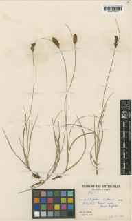 Blysmus compressus herbarium specimen from Kirkburn, VC61 South-east Yorkshire in 1947 by R Lewis.