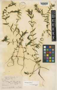 Groenlandia densa herbarium specimen from Haxey, VC54 North Lincolnshire in 1939 by Mr Noel Yvri Sandwith.