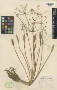 Baldellia ranunculoides herbarium specimen from Tempsford, VC30 Bedfordshire in 1946 by Peter Geoffrey Taylor.