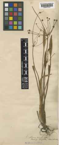 Baldellia ranunculoides herbarium specimen from Ormesby, VC27 East Norfolk in 1863 by Benjamin Thompson Lowne snr.