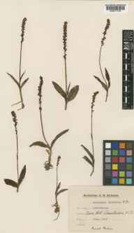 Herminium monorchis herbarium specimen from Cleeve Hill, VC33 East Gloucestershire in 1933 by R M Richards.