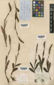 Habenaria albida herbarium specimen from Dalskairth, VC73 Kirkcudbrightshire in 1849 by Mr Peter Gray.