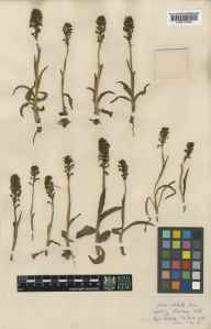 Orchis ustulata herbarium specimen from Stonehenge, VC8 South Wiltshire in 1900 by Charles Baron Clarke.