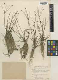 Baldellia ranunculoides herbarium specimen from Lough Nalawney, VCH16 West Galway in 1946 by Stella Ross-Craig.
