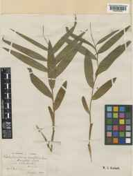 Cephalanthera longifolia herbarium specimen from Winchester,Avington Park, VC12 North Hampshire in 1872 by Frederick Issac Warner.