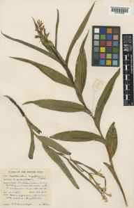 Cephalanthera longifolia herbarium specimen from Winterbourne, VC8 South Wiltshire in 1957 by Mr Victor Samuel Summerhayes.