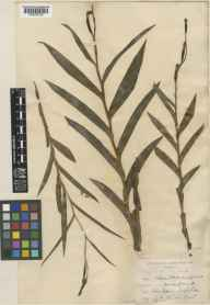 Cephalanthera longifolia herbarium specimen from Lough Ree, VCH23,VCH24,VCH25 in 1899 by Mr Robert Lloyd Praeger.