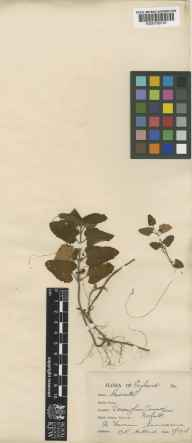 Cuscuta epithymum herbarium specimen from Dersingham, VC28 West Norfolk in 1926 by Charles Edward Hubbard.