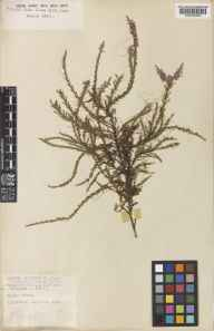 Cuscuta epithymum herbarium specimen from Wisley Common, VC17 Surrey in 1950 by Gordon Douglas Rowley.