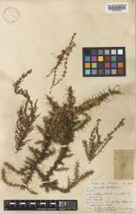 Cuscuta epithymum herbarium specimen from Ashdown Forest, VC14 East Sussex in 1931 by Edgar Wolston Bertram Handsley Milne-Redhead.
