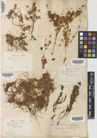 Cuscuta epithymum herbarium specimen from Weybridge, VC17 Surrey in 1882 by Daniel Dewar.