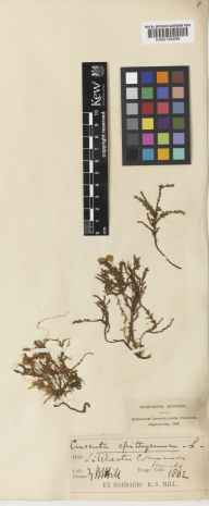 Cuscuta epithymum herbarium specimen from Silchester, VC12 North Hampshire in 1862 by Dr Robert Southey Hill.