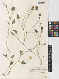 Viola lactea herbarium specimen from Chailey Common, VC14 East Sussex in 1937 by Dennys Basil Fanshawe.
