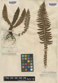 Polystichum lonchitis herbarium specimen collected by Rev. John Lightfoot.