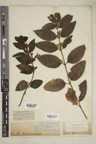 Melittis melissophyllum herbarium specimen from Devonport, VC3 South Devon in 1837 by Rev. William Strong Hore.