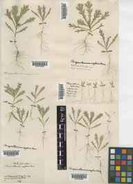 Glebionis segetum herbarium specimen from Ripley, VC17 Surrey by Mrs Mary Louisa Wedgwood.