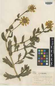 Glebionis segetum herbarium specimen from Ashurst Wood, VC14 East Sussex in 1905 by Christopher Robert Billups.