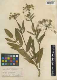Sium latifolium herbarium specimen from Shapwick Moor, VC6 North Somerset in 1914 by Dr Henry Francois Devis.