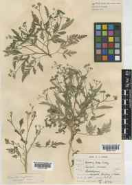 Torilis arvensis herbarium specimen from Thorpe, VC27 East Norfolk in 1835.