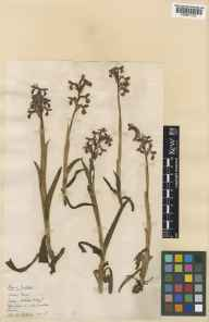 Orchis morio herbarium specimen from Wisley, VC17 Surrey in 1928 by Charles Edward Hubbard.
