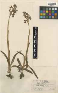 Orchis morio herbarium specimen from West Horsley, VC17 Surrey in 1897 by Mr Charles Edward Britton.