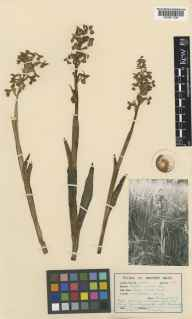 Orchis morio herbarium specimen from Windlesham, VC17 Surrey in 1937 by S Rawlings.