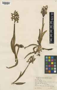 Orchis morio herbarium specimen from Eynsham, VC23 Oxfordshire in 1944 by Charles Edward Hubbard.